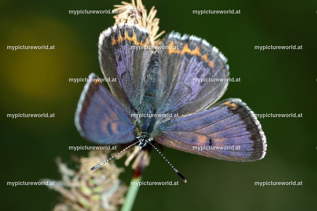 Lycaena helle-036