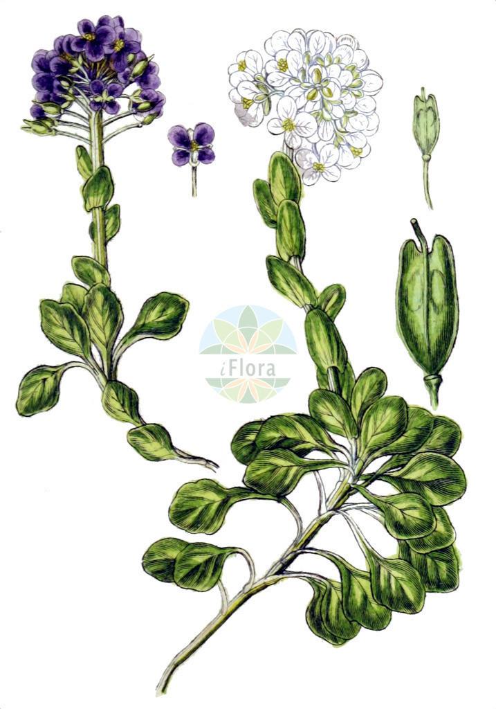 Noccaea rotundifolia (Rundblaettriges Hellerkraut - Round-leaved Penny-Cress) | Historische Abbildung von Noccaea rotundifolia (Rundblaettriges Hellerkraut - Round-leaved Penny-Cress). Das Bild zeigt Blatt, Bluete, Frucht und Same. ---- Historical Drawing of Noccaea rotundifolia (Rundblaettriges Hellerkraut - Round-leaved Penny-Cress).The image is showing leaf, flower, fruit and seed.
