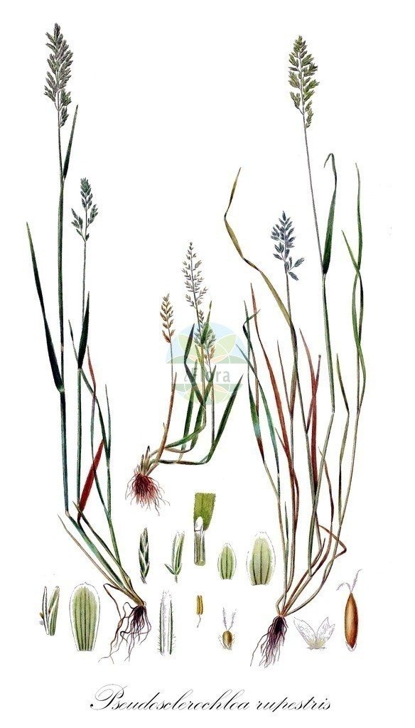 Historical drawing of Pseudosclerochloa rupestris   Historical drawing of Pseudosclerochloa rupestris showing leaf, flower, fruit, seed