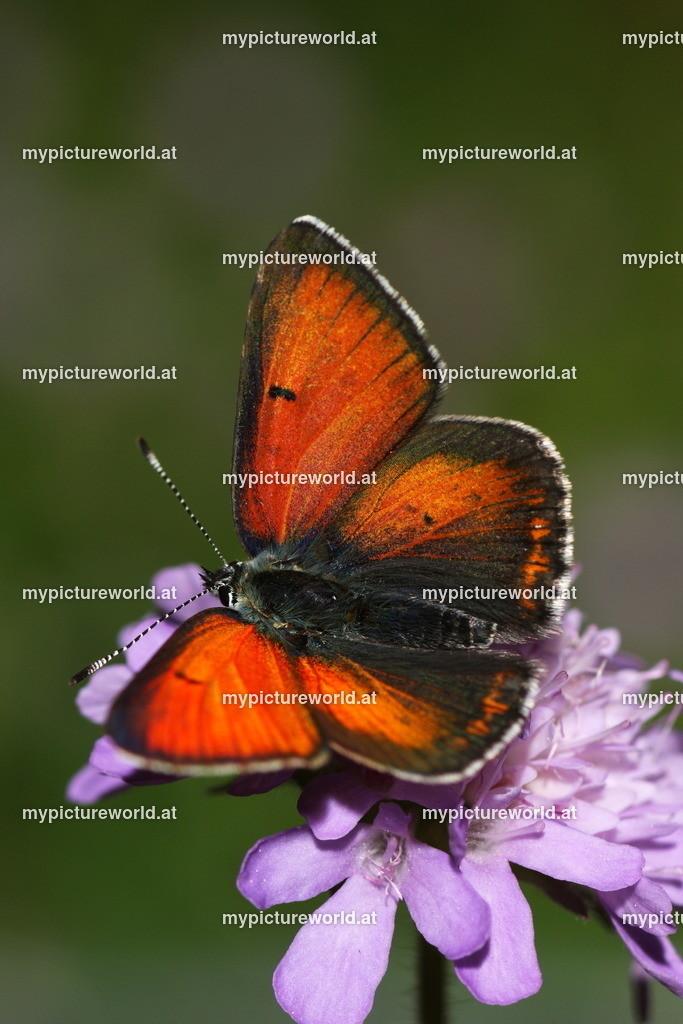 Lycaena hippothoe-006