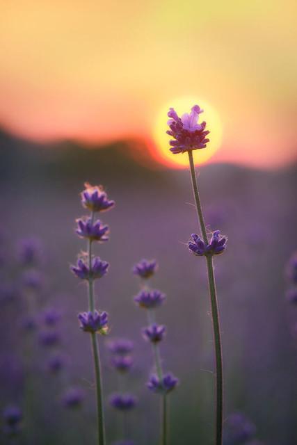 Lavendelsonne | Es muss nicht immer das epische Panorama einer dramatischen Landschaft sein. Manchmal genügt auch der Blick auf ein schönes Detail, wie hier eine Lavendelblüte vor der untergehenden Sonne.
