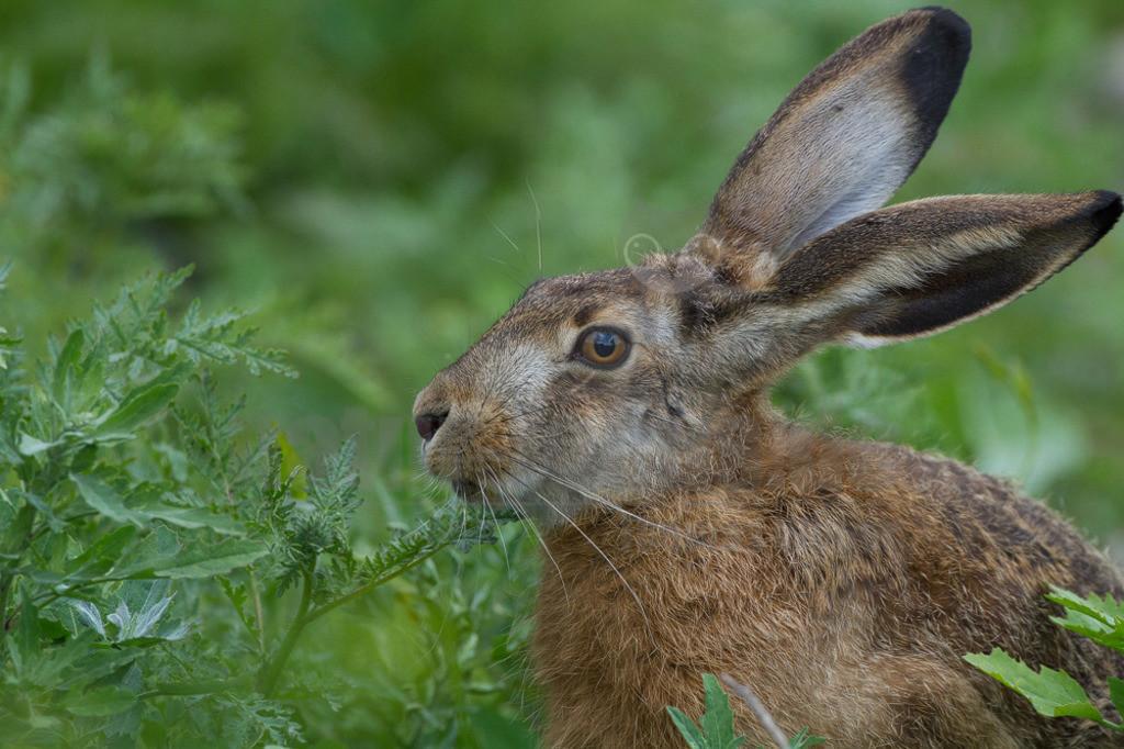 20110527_15052981280  | Der Feldhase ist ein Säugetier aus der Familie der Hasen. Die Art besiedelt offene und halboffene Landschaften. Das natürliche Verbreitungsgebiet umfasst weite Teile der südwestlichen Paläarktis; durch zahlreiche Einbürgerungen kommt der Feldhase heute jedoch auf fast allen Kontinenten vor.
