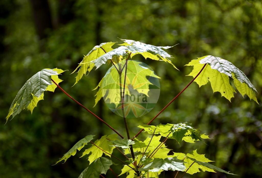 Acer platanoides (Spitz-Ahorn - Norway Maple)   Foto von Acer platanoides (Spitz-Ahorn - Norway Maple). Das Bild zeigt Blatt. Das Foto wurde in Oberursel, Hochtaunuskreis, Hessen, Deutschland, Oberrheinisches Tiefland und Rhein-Main-Ebene, Untermainebene aufgenommen. ---- Photo of Acer platanoides (Spitz-Ahorn - Norway Maple).The image is showing leaf.The picture was taken in Oberursel, Hochtaunus district, Hesse, Germany, Oberrheinisches Tiefland and Rhein-Main-Ebene, Untermainebene.