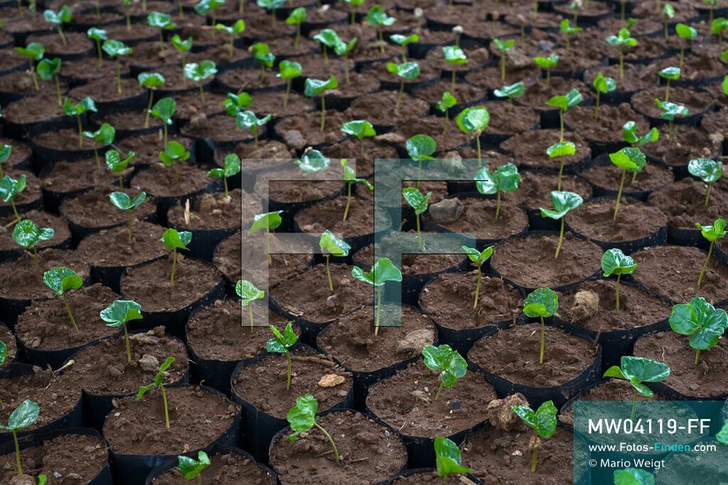 MW04119-FF | Laos | Paksong | Reportage: Kaffeeproduktion in Laos | Kleine Kaffeepflanzen. In den Plantagen auf dem Bolaven-Plateau gedeihen Sträucher der Kaffeesorten Robusta und Arabica.  ** Feindaten bitte anfragen bei Mario Weigt Photography, info@asia-stories.com **