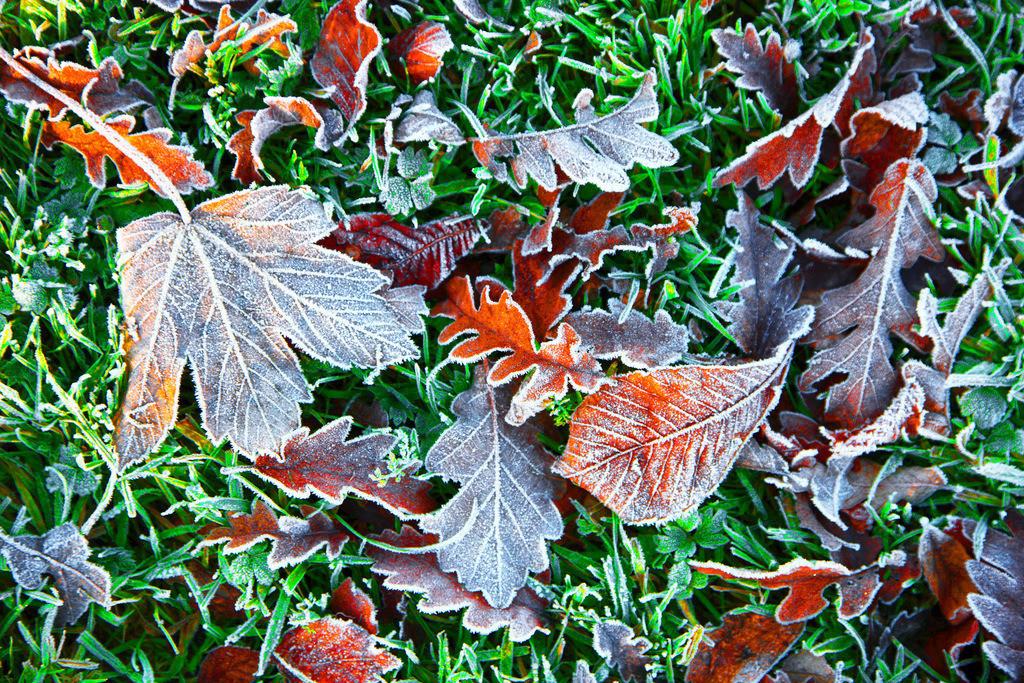 JT-121118-503 | Herbst, Raureif auf verwelkten Blättern, Spitzahorn, Linde, Eiche,