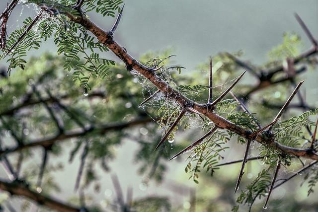 SPIDER WEB   Kenya