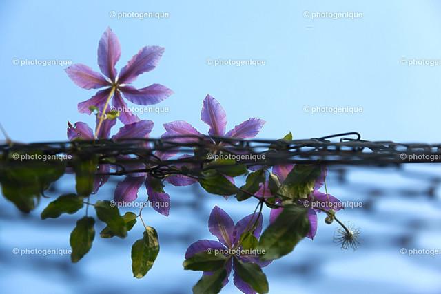 Clematis 2 | Clematis Blüten an Maschendraht-Zahn bei Tageslicht vor einem blauen Hintergrund