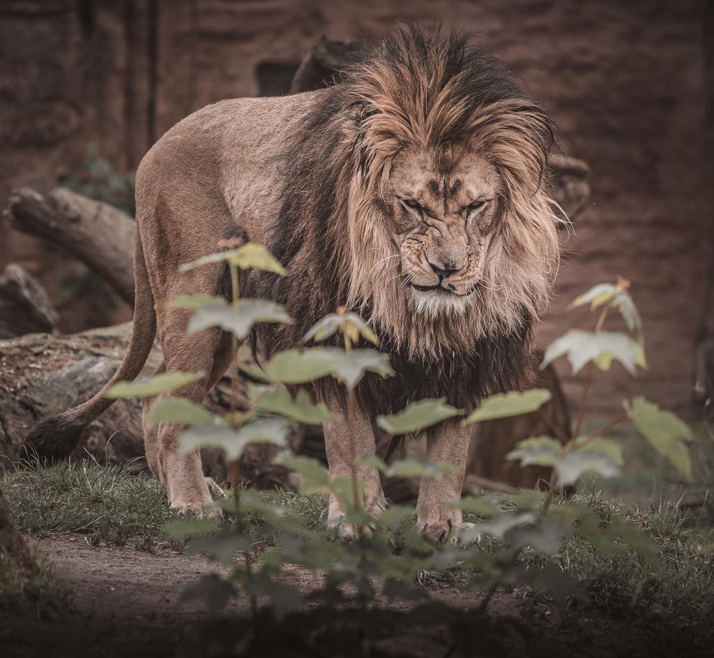 Lion Zoo 3