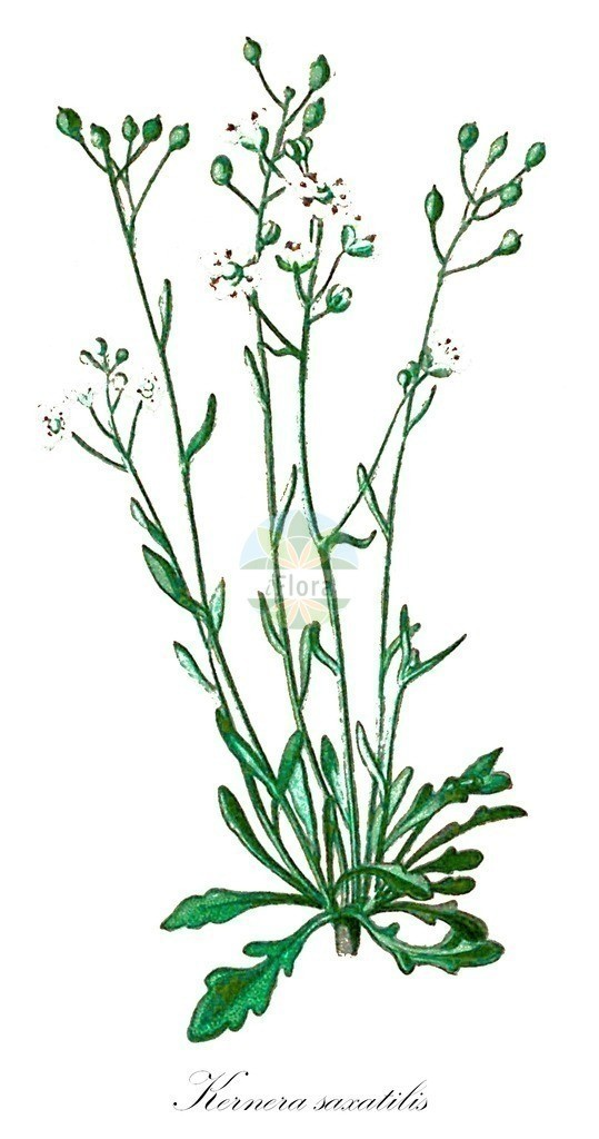 Historical drawing of Kernera saxatilis (Kernera) | Historical drawing of Kernera saxatilis (Kernera) showing leaf, flower, fruit, seed