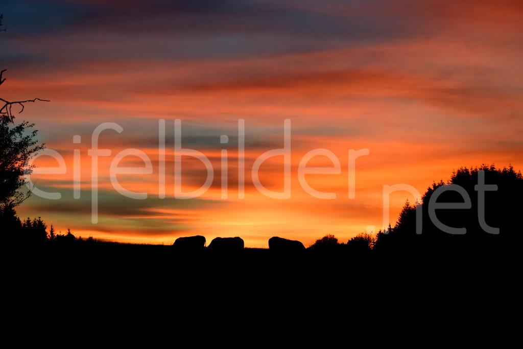 grasende Rinder im Sonnenuntergang | Abendrot über Daun Weiersbach in der Eifel