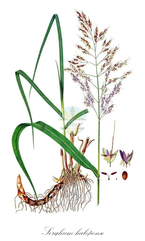Historical drawing of Sorghum halepense (Johnson-grass)   Historical drawing of Sorghum halepense (Johnson-grass) showing leaf, flower, fruit, seed
