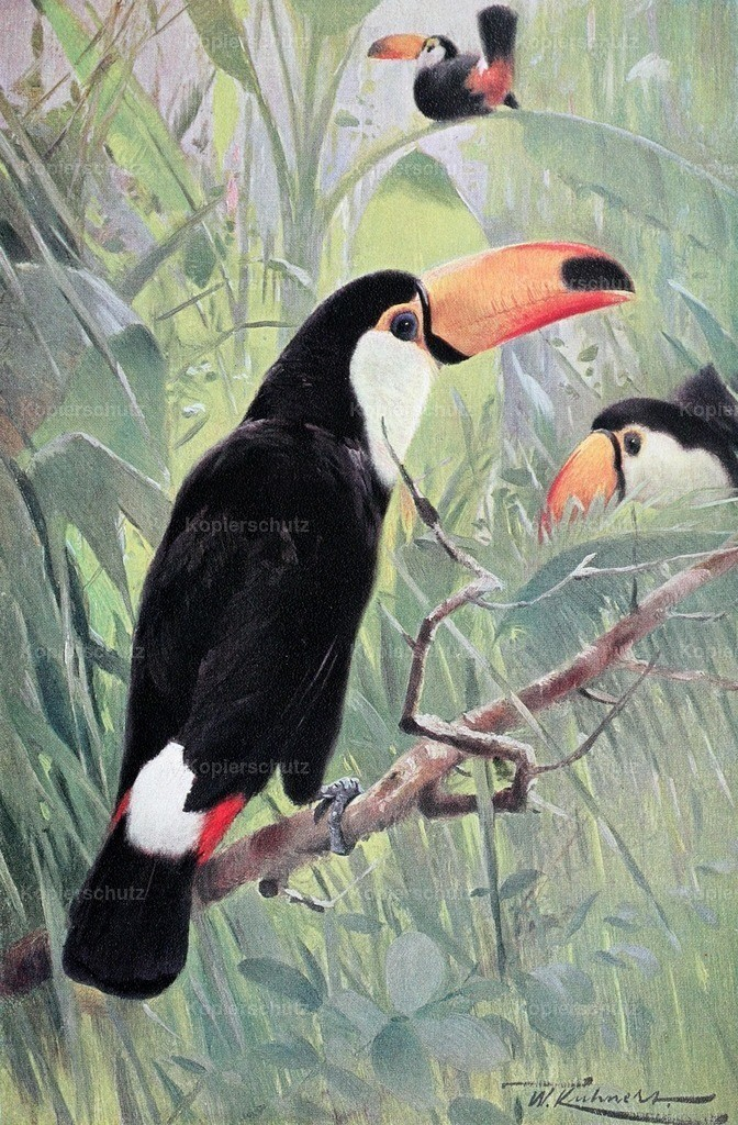 Kuhnert_ F.W. (1865-1926) - Wild Life of the World 1916 - Great Toucan