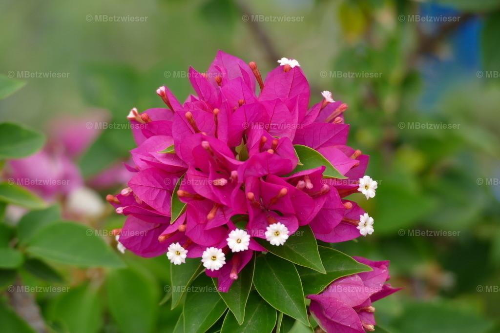 P1010370 | Weiße Blüten der Bougainvillea