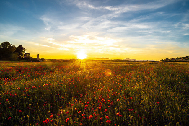Monblumenfeld im Sonnenuntergang auf Mallorca