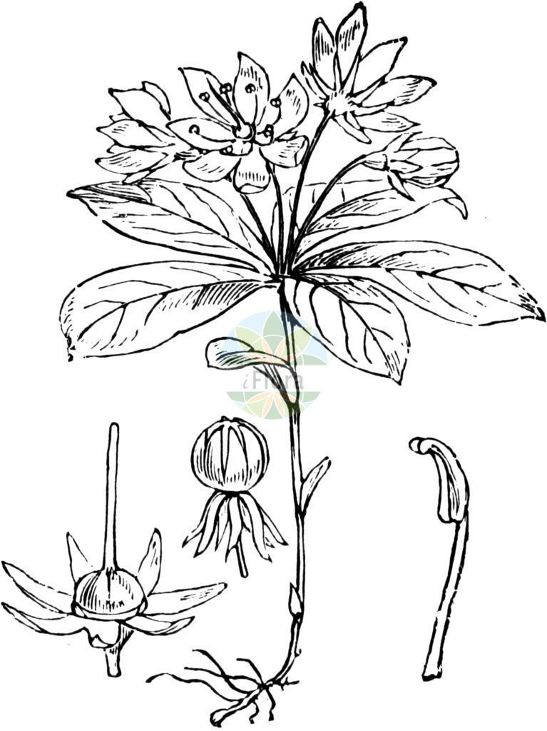 Trientalis europaea (Europaeischer Siebenstern - Chickweed-wintergreen) | Historische Abbildung von Trientalis europaea (Europaeischer Siebenstern - Chickweed-wintergreen). Das Bild zeigt Blatt, Bluete, Frucht und Same. ---- Historical Drawing of Trientalis europaea (Europaeischer Siebenstern - Chickweed-wintergreen).The image is showing leaf, flower, fruit and seed.