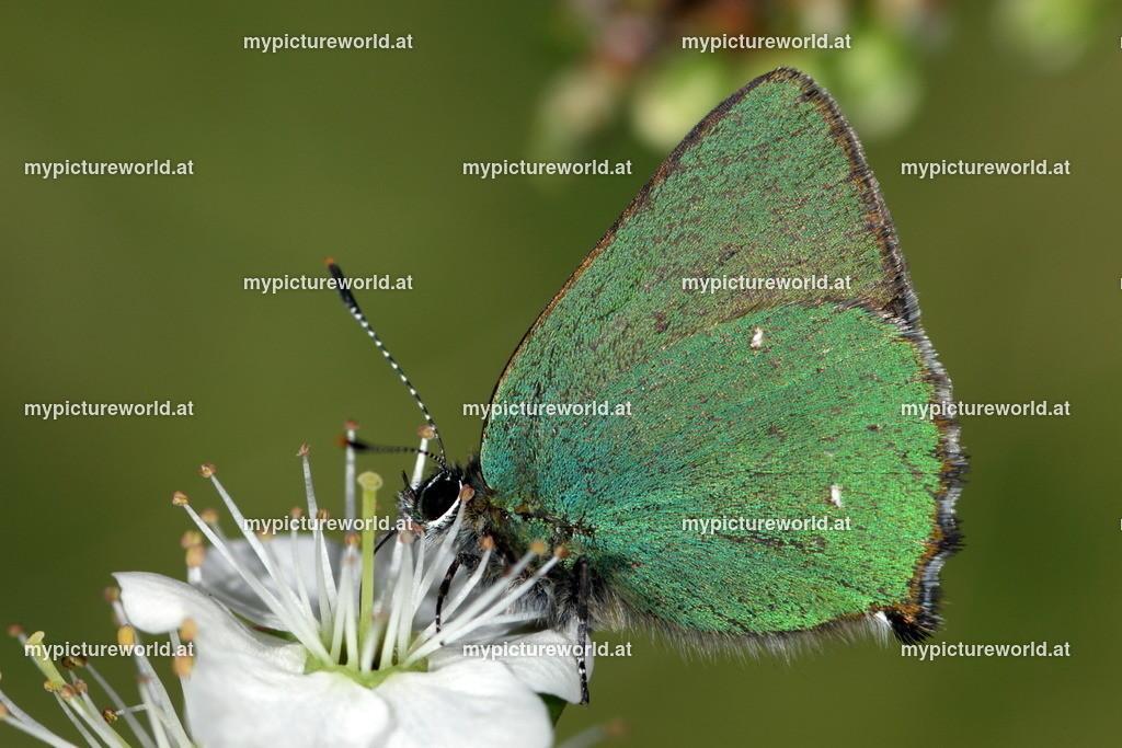 Callophrys rubi-007