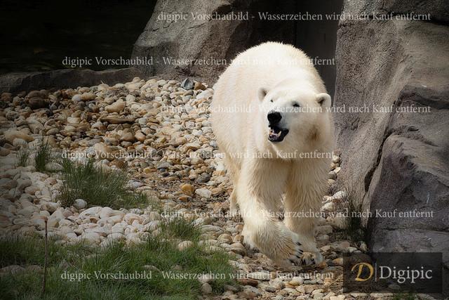 Eisbär 1 -Vorschaubild