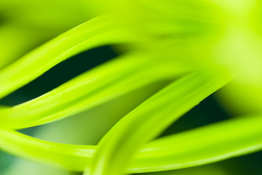 Best. Nr. Farbstimmungen09 | Grüne Chrysanthemenblüte