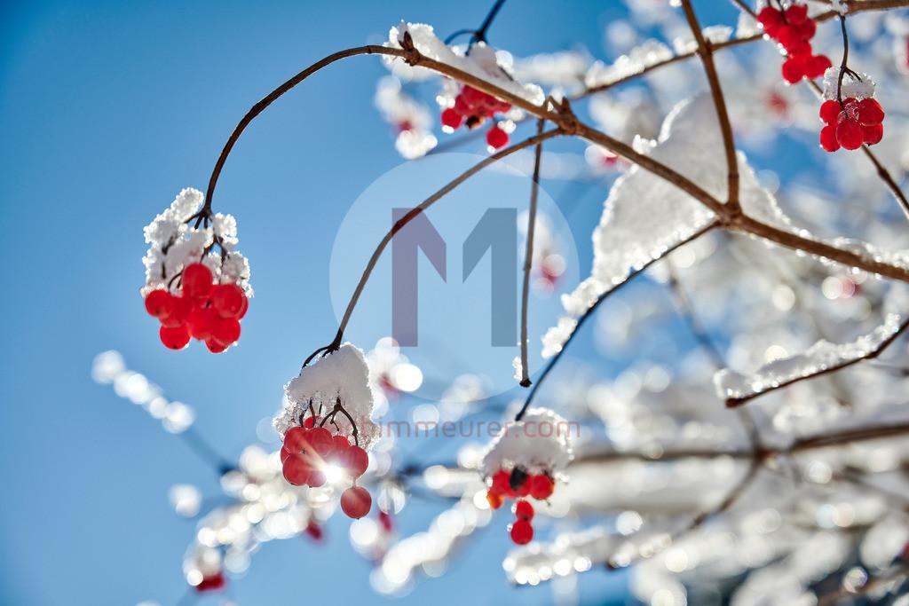 Rote Beeren im Schnee, Tannheimer Tal, Tirol, Österreich