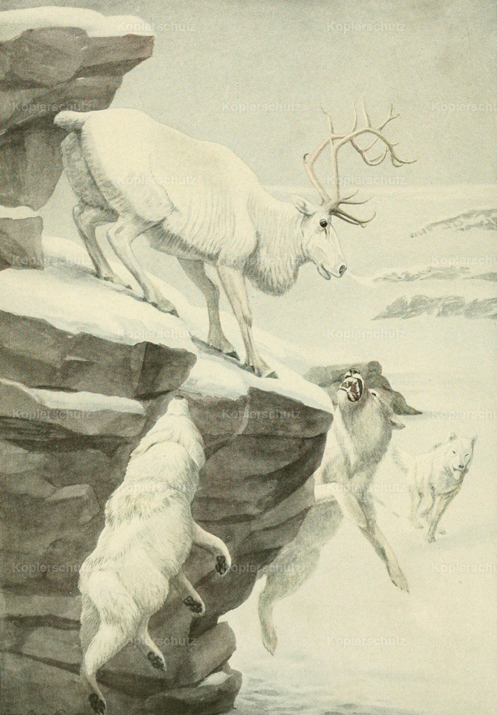 Fuertes_ L.A. (1874-1927) - Wild Animals of N. America 1918 - Peary Caribou _ Arctic Wolf