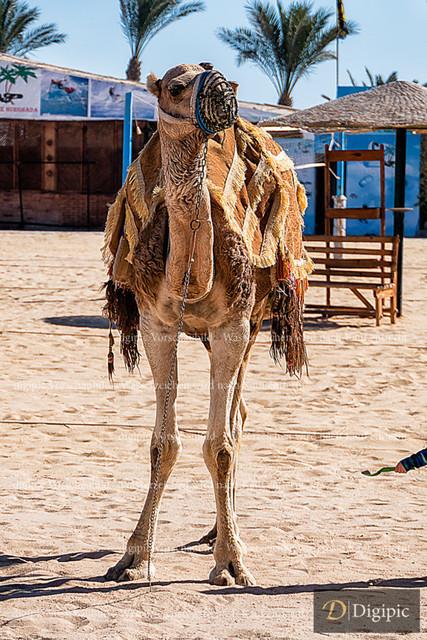 Anlage Kamel 12 | Kamel im Golden Beach Ressort, Hurghada