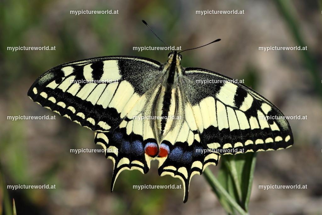 Papilio machaon-032