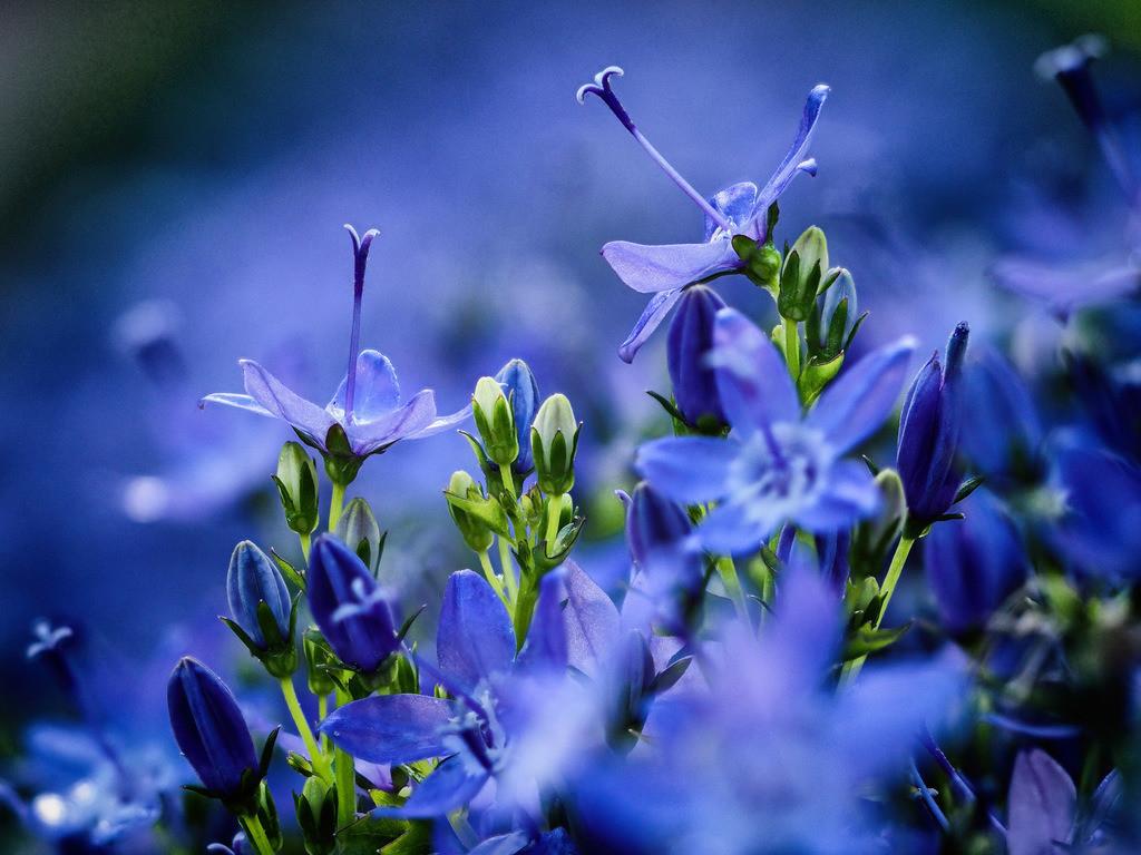 Glockenblume - Campanula garganica   Blüten einer blauen Glockenblume (Campanula garganica).