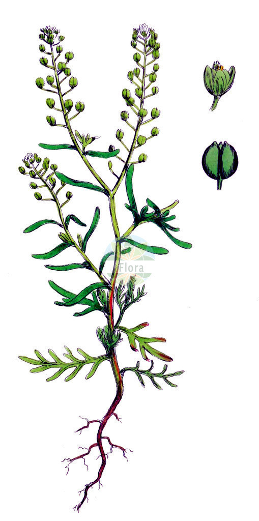 Lepidium ruderale (Schutt-Kresse - Narrow-leaved Pepperwort) | Historische Abbildung von Lepidium ruderale (Schutt-Kresse - Narrow-leaved Pepperwort). Das Bild zeigt Blatt, Bluete, Frucht und Same. ---- Historical Drawing of Lepidium ruderale (Schutt-Kresse - Narrow-leaved Pepperwort).The image is showing leaf, flower, fruit and seed.