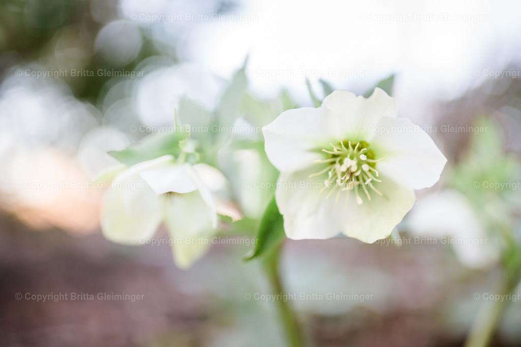 weiße Schneerose II | Die Schneerose, auch Christrose oder Schwarze Nieswurz genannt, hat ihre Hauptblütezeit von Februar bis April und war wegen ihrer frühen Blüte und ihrer auffälligen weißen Blüten bereits im 16. Jahrhundert in den Gärten Mitteleuropas zu finden.