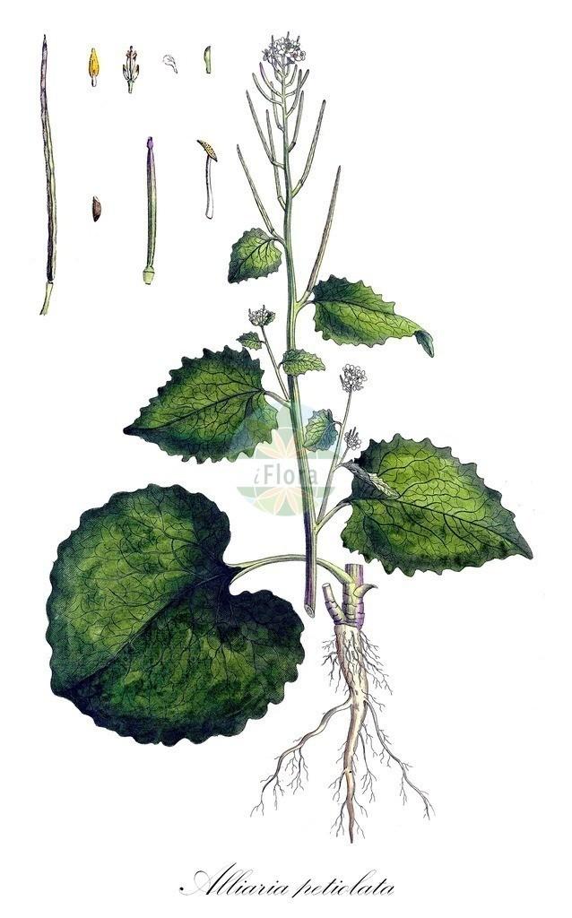 Historical drawing of Alliaria petiolata (Garlic Mustard)   Historical drawing of Alliaria petiolata (Garlic Mustard) showing leaf, flower, fruit, seed