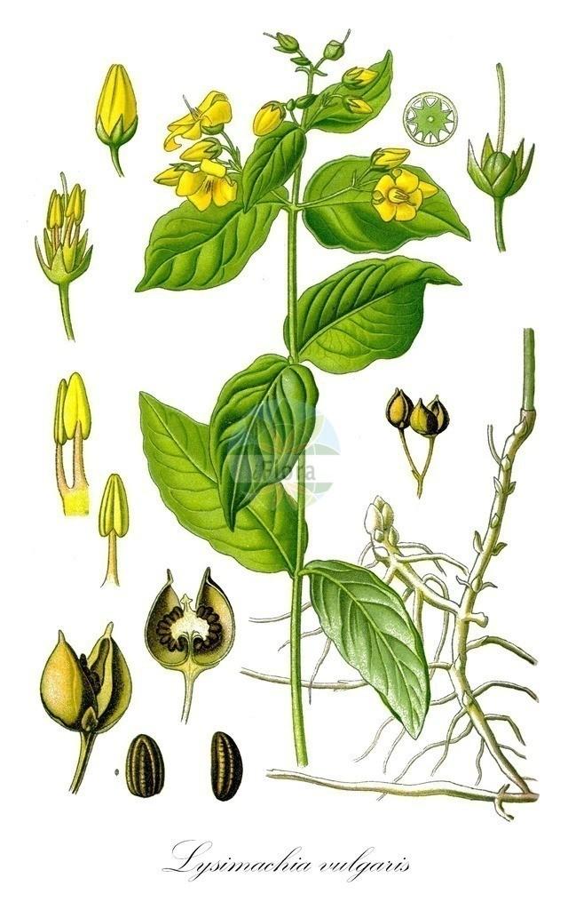Historical drawing of Lysimachia vulgaris (Yellow Loosestrife) | Historical drawing of Lysimachia vulgaris (Yellow Loosestrife)