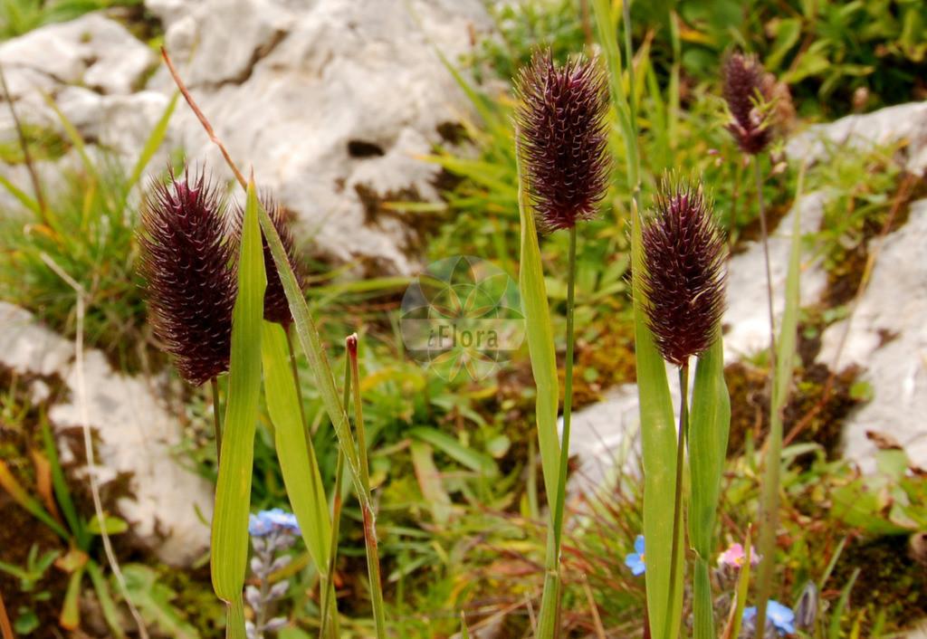 Phleum rhaeticum (Graubuendener Lieschgras - Alpine Cat's-ta   Foto von Phleum rhaeticum (Graubuendener Lieschgras - Alpine Cat's-tail). Das Foto wurde in Kleinwalsertal, Mittelberg, Vorarlberg, Österreich, Alpen aufgenommen. ---- Photo of Phleum rhaeticum (Graubuendener Lieschgras - Alpine Cat's-tail).The picture was taken in Kleinwalsertal, Mittelberg, Vorarlberg, Austria