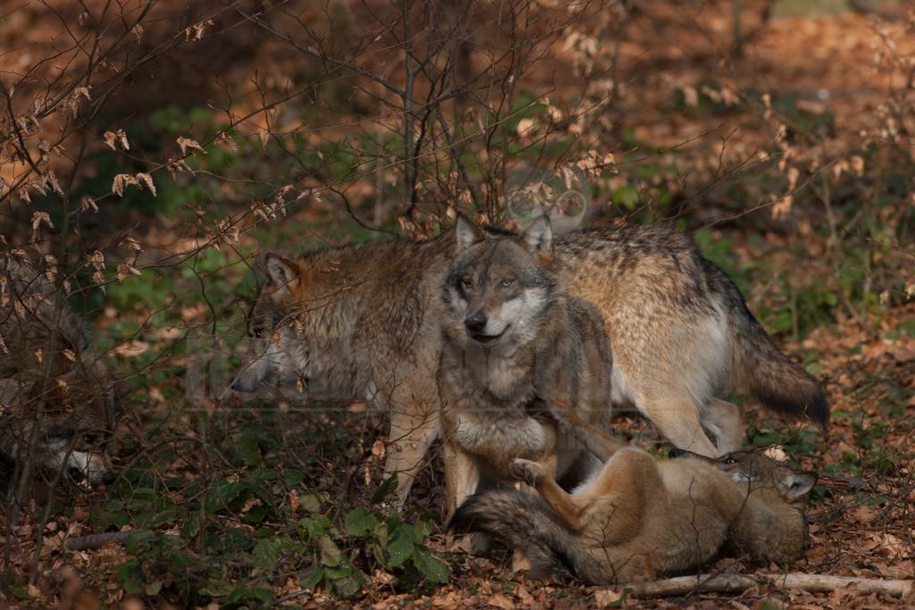 20080214_14524114724 | Der Wolf ist rezent das größte Raubtier aus der Familie der Hunde. Wölfe leben meist in Familienverbänden, fachsprachlich Rudel genannt. Hauptbeute sind in den meisten Regionen mittelgroße bis große Huftiere.