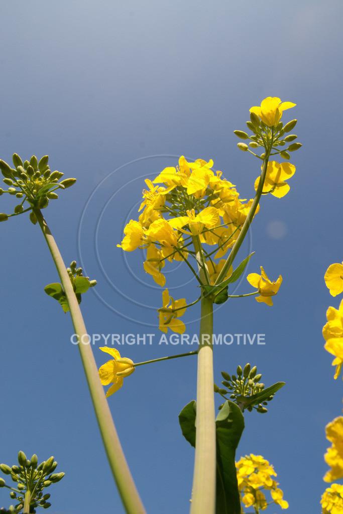 120407-151808 | Rapsblüten im Frühling - AGRARMOTIVE