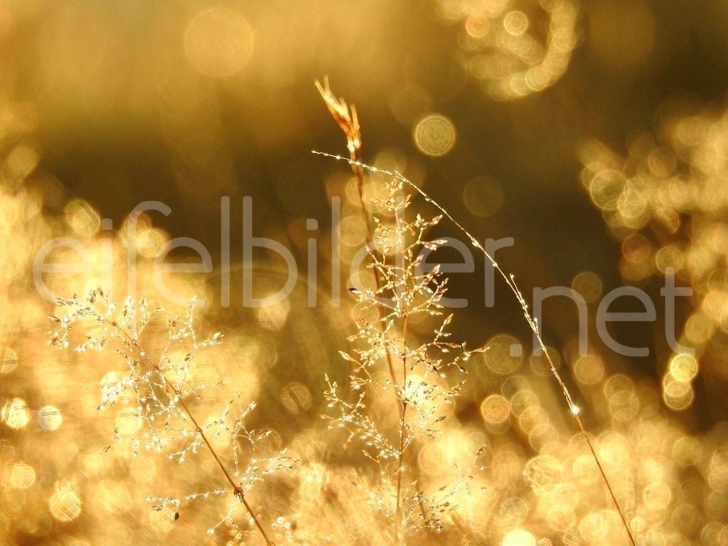 Lichtertanz  | Golden glitzernde Tautropfen in der Morgensonne