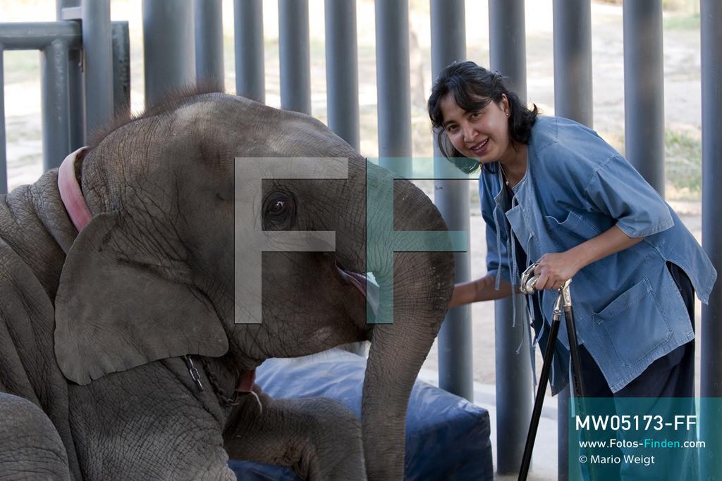 MW05173-FF | Thailand | Lampang | Reportage: Krankenhaus für Elefanten | Gründerin der Elefantenklinik Soraida Salwala streichelt Elefantenbaby Mosha.  ** Feindaten bitte anfragen bei Mario Weigt Photography, info@asia-stories.com **