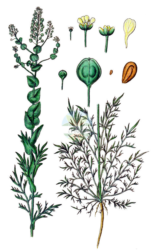 Lepidium perfoliatum (Durchwachsenblaettrige Kresse - Perfoliate Pepperwort) | Historische Abbildung von Lepidium perfoliatum (Durchwachsenblaettrige Kresse - Perfoliate Pepperwort). Das Bild zeigt Blatt, Bluete, Frucht und Same. ---- Historical Drawing of Lepidium perfoliatum (Durchwachsenblaettrige Kresse - Perfoliate Pepperwort).The image is showing leaf, flower, fruit and seed.