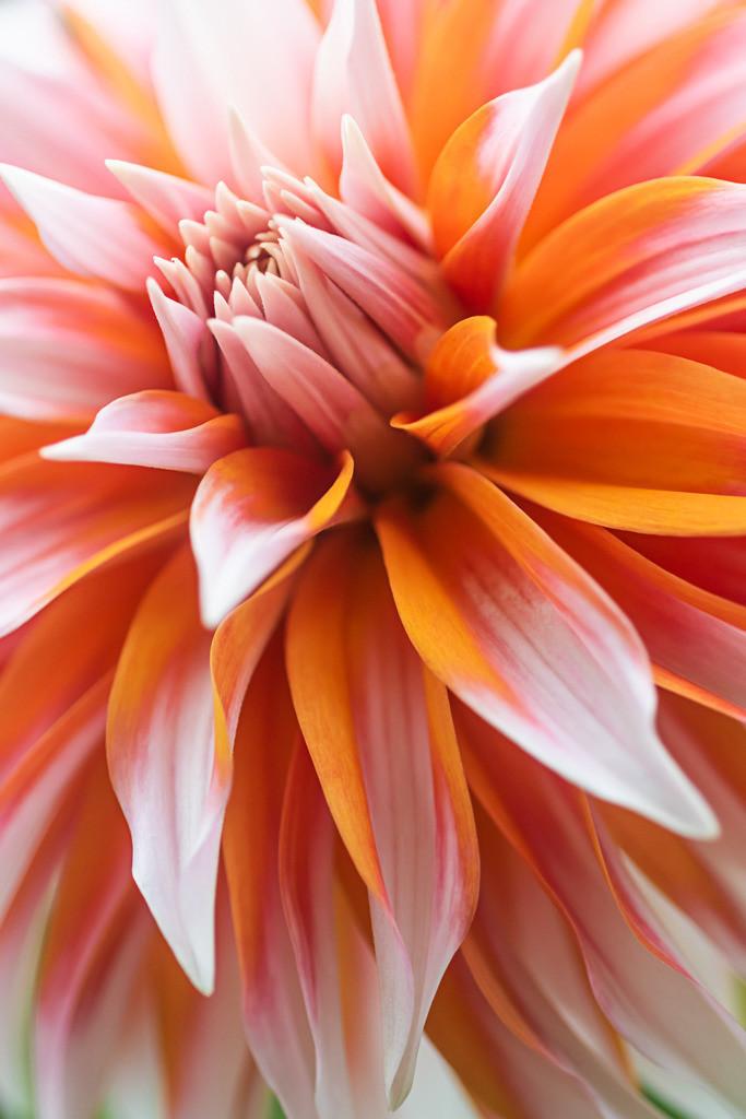 Best. Nr. Blütenpracht15 | Sterndahlie