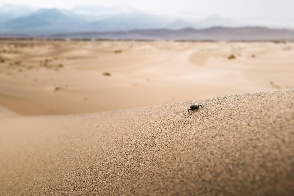 Death Valley Beetle