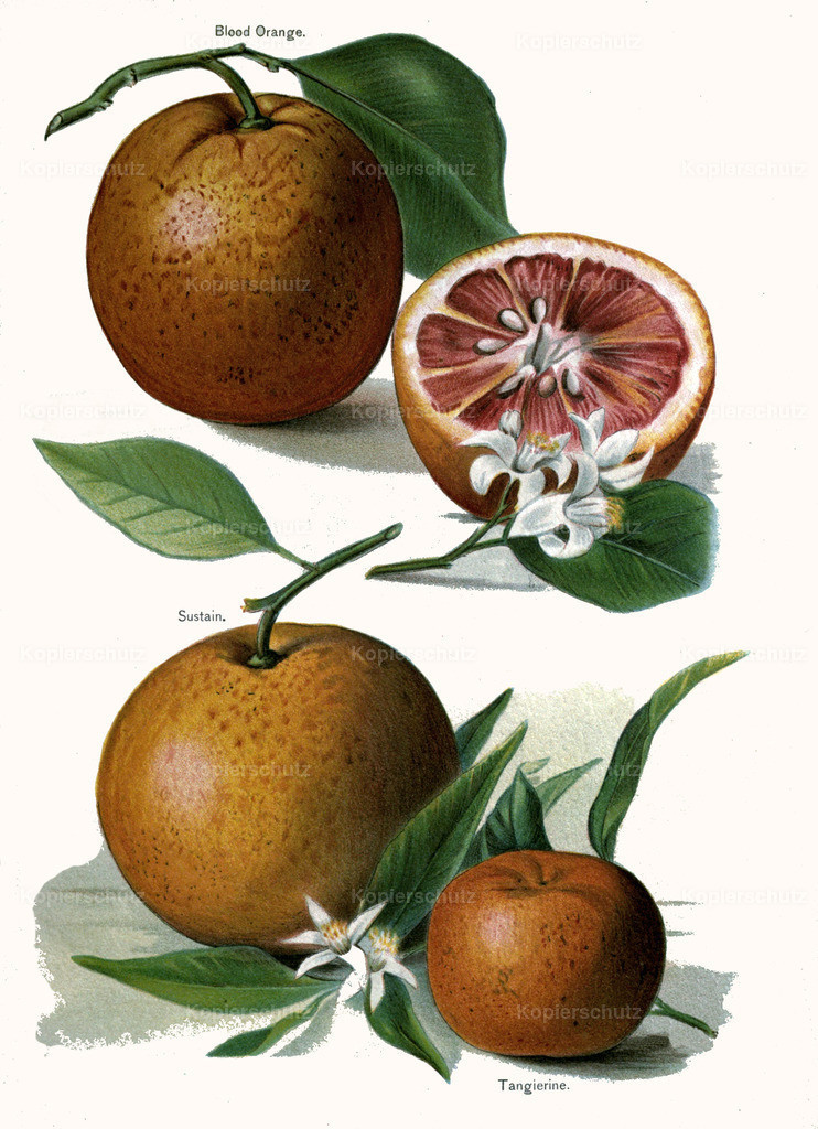 Fruit-Growers-Guide-1890-May-Rivers-Obst-Früchte (17)