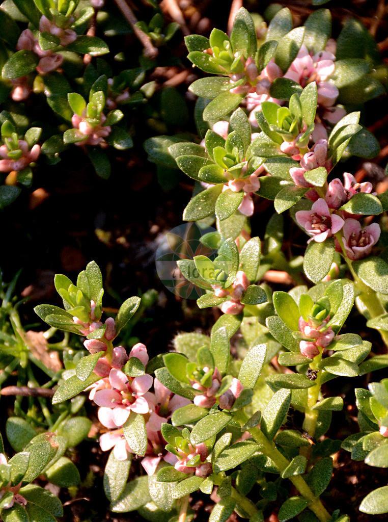 Glaux maritima (Strand-Milchkraut - Sea-milkwort) | Foto von Glaux maritima (Strand-Milchkraut - Sea-milkwort). Das Foto wurde in Giessen, Hessen, Deutschland aufgenommen. ---- Photo of Glaux maritima (Strand-Milchkraut - Sea-milkwort).The picture was taken in Giessen, Hesse, Germany.