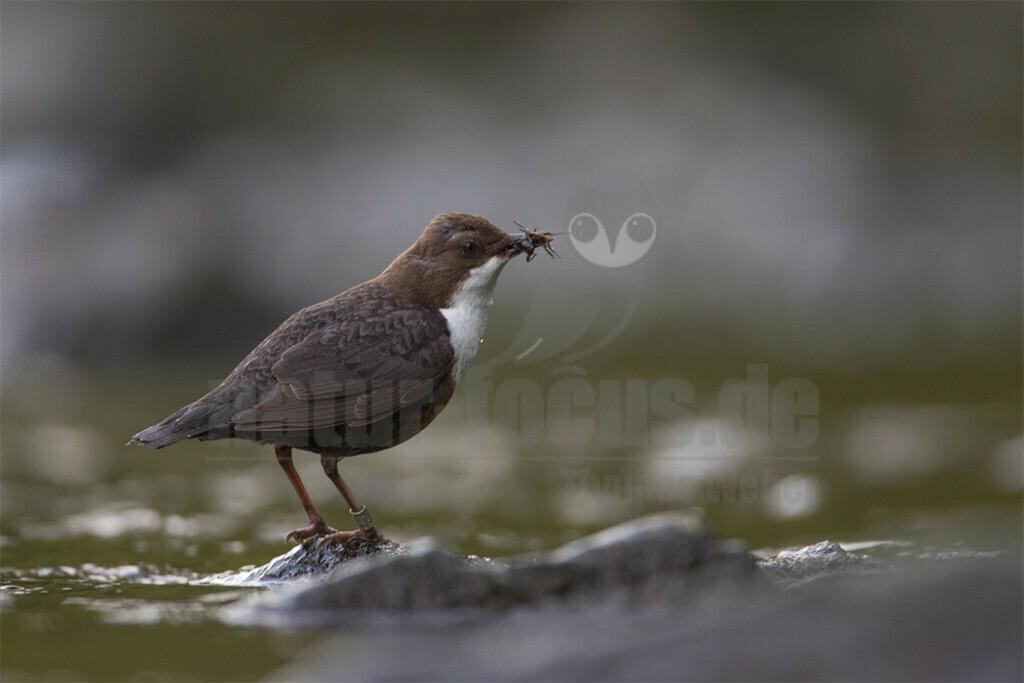 20180428-663A4447 | Die Wasseramsel oder Eurasische Wasseramsel ist die einzige auch in Mitteleuropa vorkommende Vertreterin der Familie der Wasseramseln. Der etwa starengroße, rundlich wirkende Singvogel ist eng an das Leben entlang schnellfließender, klarer Gewässer gebunden.