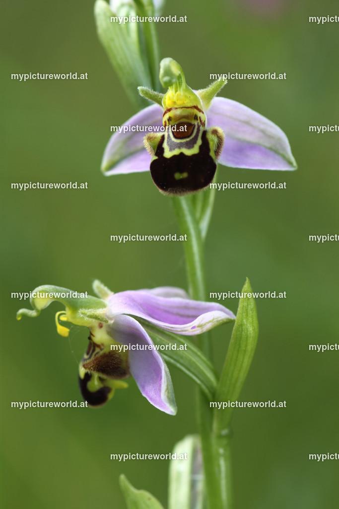 Bienen-Ragwurz-006