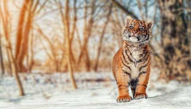 Tiger Baby im Winter