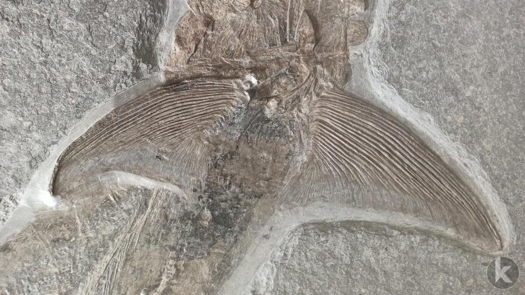 Pachycormus 1 | Künstlerische Nahaufnahme eines fossilen Knochenfisches