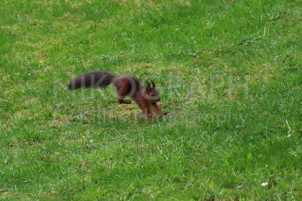 Springendes Eichhörnchen   Eichhörchnen springt über die Wiese