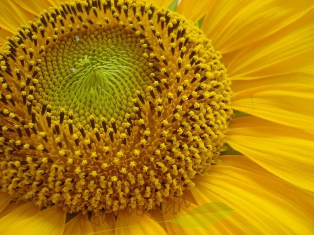 Lebenskreise einer Sonnenblume