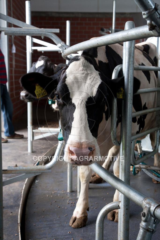 20100821-IMG_0240 | Kühe werden im Melkkarussell gemolken