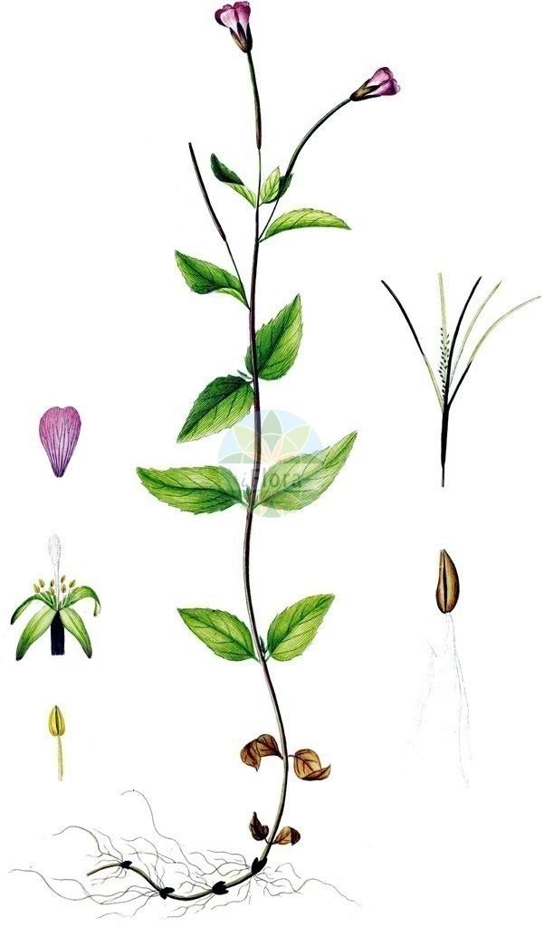 Epilobium alsinifolium (Mierenblaettriges Weidenroeschen - Chickweed Willowherb) | Historische Abbildung von Epilobium alsinifolium (Mierenblaettriges Weidenroeschen - Chickweed Willowherb). Das Bild zeigt Blatt, Bluete, Frucht und Same. ---- Historical Drawing of Epilobium alsinifolium (Mierenblaettriges Weidenroeschen - Chickweed Willowherb).The image is showing leaf, flower, fruit and seed.