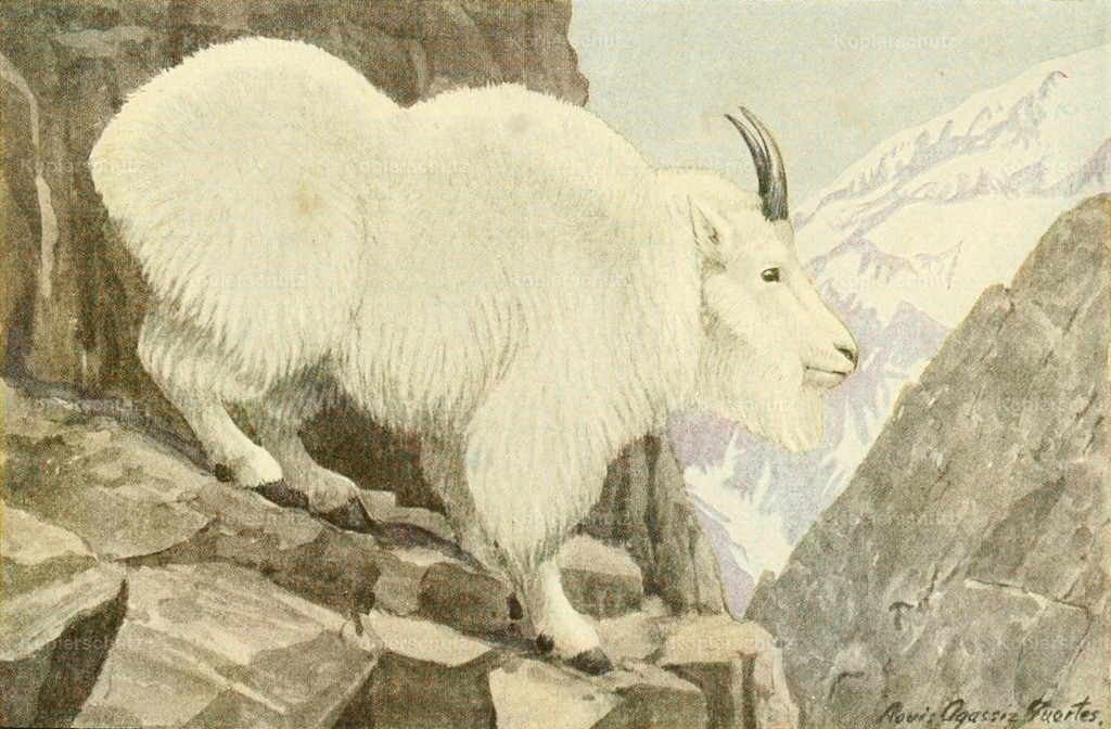 Fuertes_ L.A. (1874-1927) - Wild Animals of N. America 1918 - Rocky Mountain Goat